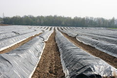 Asparagus field. A big, with, foil-covered asparagus field Royalty Free Stock Photo