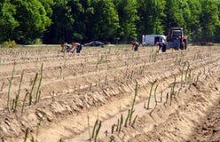 Asparagus field Stock Photography