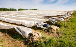 Asparagus field covered with platic foil Royalty Free Stock Photo