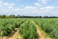 Asparagus field. Stock Photo