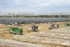 Asparagus field before harvesting Stock Photos