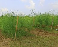 Asparagus field Royalty Free Stock Photo