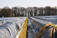 Asparagus field in spring protected with plastic foil against frost - Roermond, Netherlands royalty free stock images
