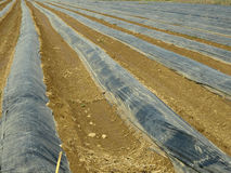 Asparagus fields Stock Images