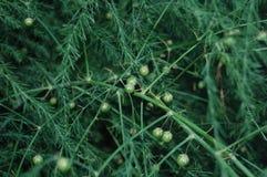Asparagus. Fluffy sprigs of green asparagus Stock Photo
