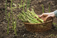 Picking Asparagus with hands Royalty Free Stock Photos