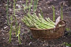 Asparagus Stock Image
