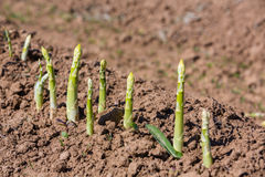Asparagus. Growing on the field stock image
