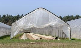 Asparagus growing in a foil tent. With long hillside beds stock photography
