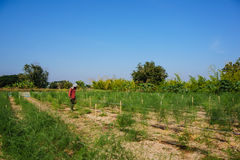 Asparagus harvest Royalty Free Stock Image