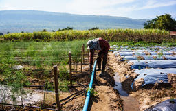 Asparagus harvest Stock Images