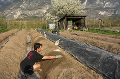 Asparagus harvest in springtime. Young man at harvest of white asparagus.Asparagus harvest in Italy, Zambana, Trentino Alto Adige Royalty Free Stock Photography