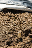 Asparagus head shoots above the soil Royalty Free Stock Photography