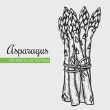 Asparagus isolated. Vegetarian food. Hand drawn isolated asparagus.  Vector vintage vegetables illustration.  Can be used for wrapping paper, street festival Royalty Free Stock Photography