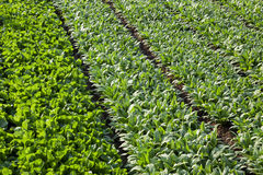 Asparagus lettuce fields Stock Photo
