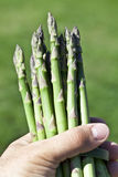 Asparagus in man hand. Stock Images