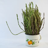 Asparagus in a metal pot Royalty Free Stock Image