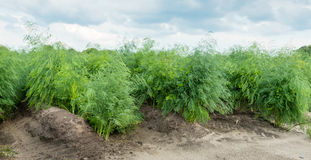 Asparagus plants in the field after the harvest season Stock Image