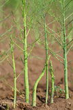 Asparagus poles on the field. More freshly green asparagus poles grow in the summer sun on a field outside Stock Image
