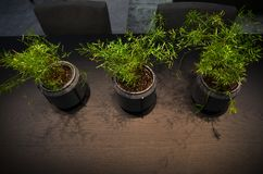 Asparagus Sprenger. Flowers in a pot stand on a dark table, top view royalty free stock photo