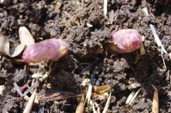 Asparagus sprouting through the soil. The first sprouts of asparagus on a sunny springtime day in Wyoming Stock Image