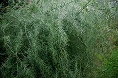 Asparagus w deszczu Zdjęcie Royalty Free