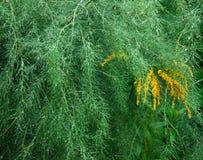 Asparagus w deszczu Obrazy Stock