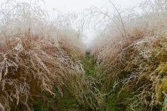 Asparagus w jesień z hoar mrozem Obraz Stock