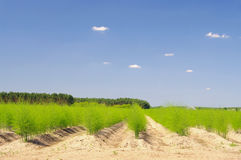 Asparagusa pole Obrazy Royalty Free