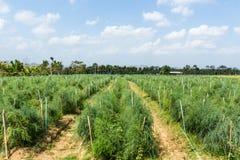 Asparagusa pole. Zdjęcie Stock