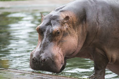 ASparring Hippos on zoo Stock Image