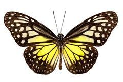 Aspasia de Parantica de la especie de la mariposa fotos de archivo libres de regalías