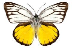 Aspasia di Cepora di specie della farfalla Fotografia Stock