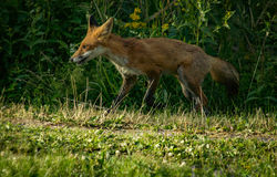 Aspect de Fox Images libres de droits