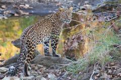 Aspecto clásico del leopardo Foto de archivo libre de regalías