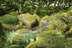 Aspects de bois du ` s de Wistman - un paysage antique sur Dartmoor, Devon, Angleterre photographie stock libre de droits