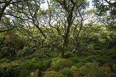 Aspects of Wistman`s Wood - an ancient landscape on Dartmoor, Devon, England. Wistman`s Woof is one of the last vestiges of ancient forest in England. It lies in royalty free stock photos