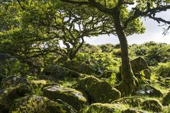 Aspekter av trä för Wistman ` s - ett forntida landskap på Dartmoor, Devon, England royaltyfria foton