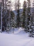 Aspen και δάσος πεύκων με την πορεία Στοκ Εικόνα