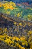Aspen западных лосей Стоковая Фотография RF
