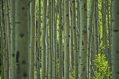 Aspen. Tree pattern in  Colorado Royalty Free Stock Image