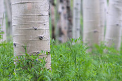 Aspen Royalty Free Stock Photo
