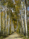Aspen Alley Wyoming Royaltyfri Bild