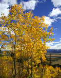 Aspen amarela Fotografia de Stock