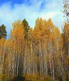 Aspen Autumn Adventure. Aspen Meadow in Shevlin Park - near Bend, OR Stock Images