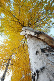 Aspen autumn Stock Photos