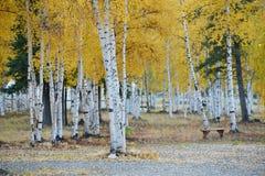 Aspen autumn Royalty Free Stock Photos