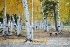 aspen autumn Royalty Free Stock Photography