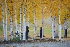 Aspen autumn Stock Image