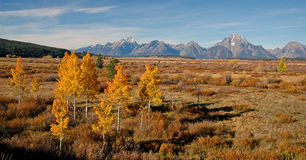 Aspen in Autumn, Wyoming, USA Royalty Free Stock Photos